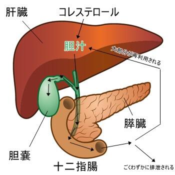 胆汁と腸肝循環